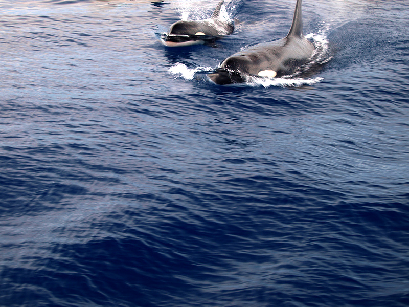 two orca's swimming in the ocean