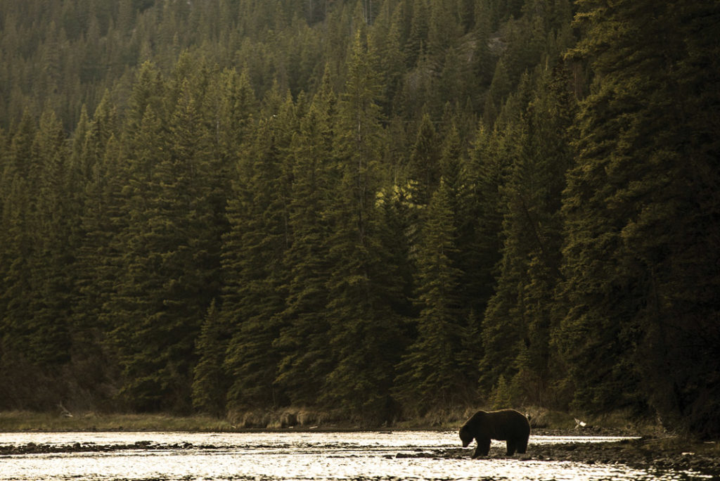 grizzly bear by a lake