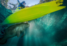 man paddle boarding above a manatee