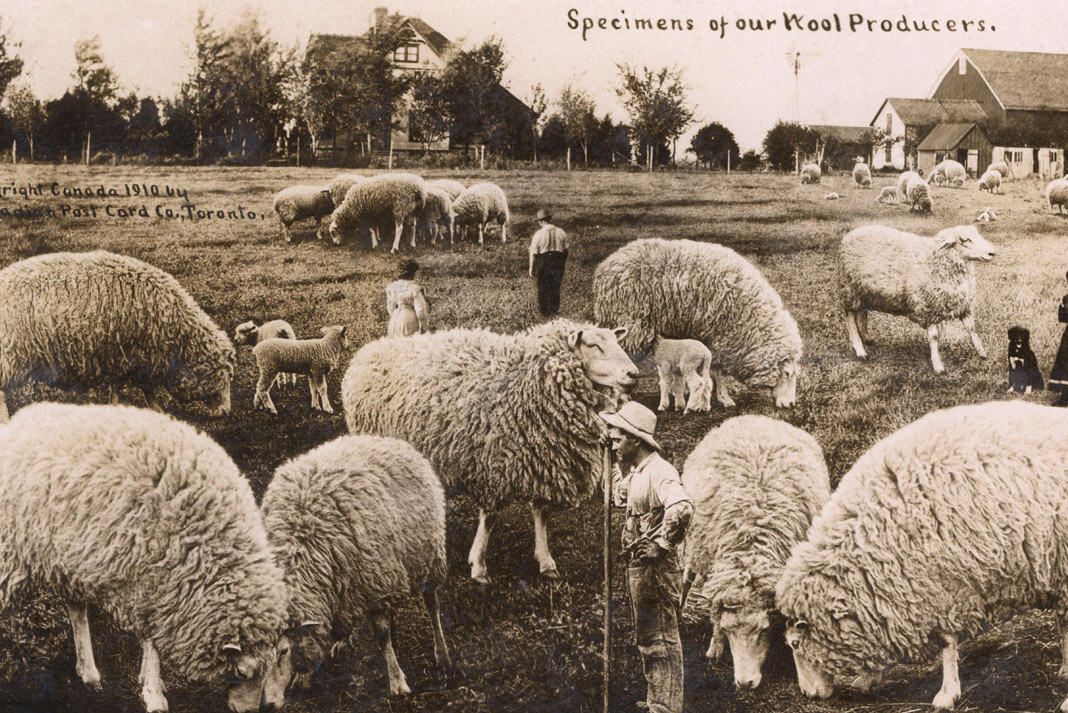 a field of sheep