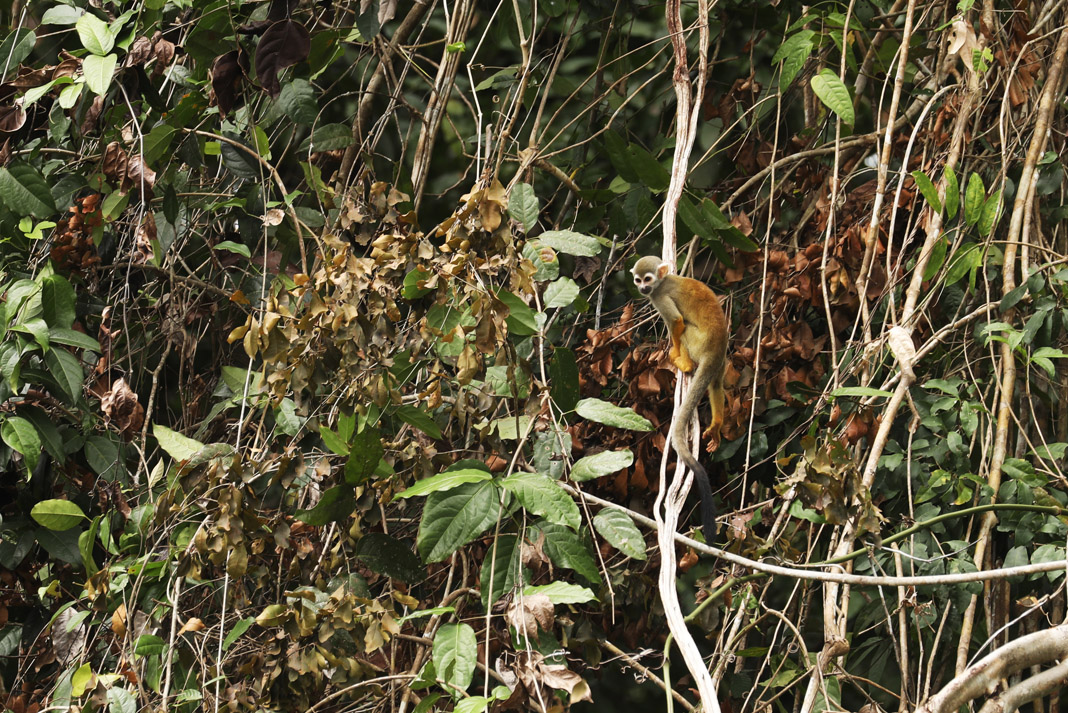 a squirrel monkey sitting on a jungle vine