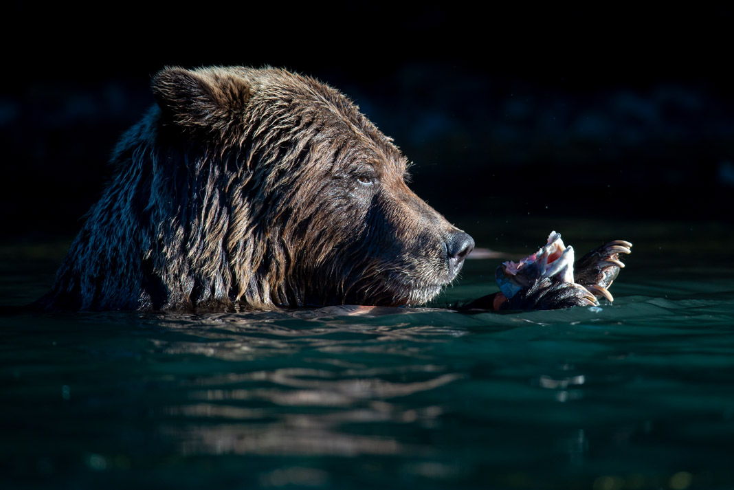 grizzly bear eating a salmon head