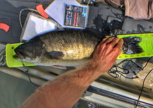 Chattahoochee River shoal bass are feisty and can get big.