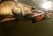 a muskie fish with a lure in its mouth