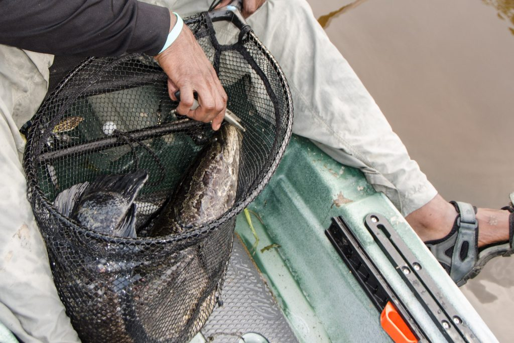 A paddler catches snakehead fish in Old Town Canoe's Topwater 120 fishing kayak