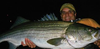 Angler holds up a large striped bass