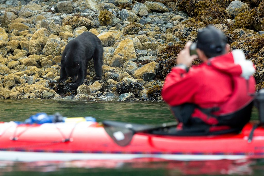 A black bear spotted foraging on shore in the Great Bear Rainforest on British Columbia's coast. | Photo: Dustin Silvey