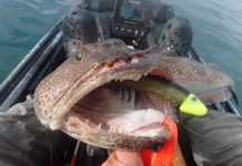 A lingcod hooked on a lure