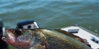 A 16 inch walleye, biggest of the day. Photo: Ben Duchesney