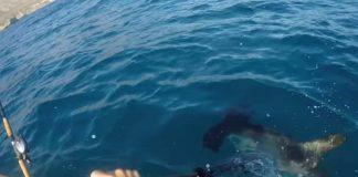 angler fights off hammerhead shark
