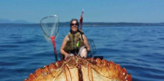 A large crab is caught and held up while crabbing from a kayak