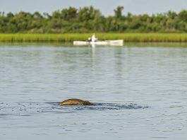 Look out for redfish and gator trout.   Photo: Chris Castro