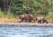 Alaska is home to all three species of North American bears: black, polar and grizzly bears, like this mother and cub. | Photo: Dustin Doskocil