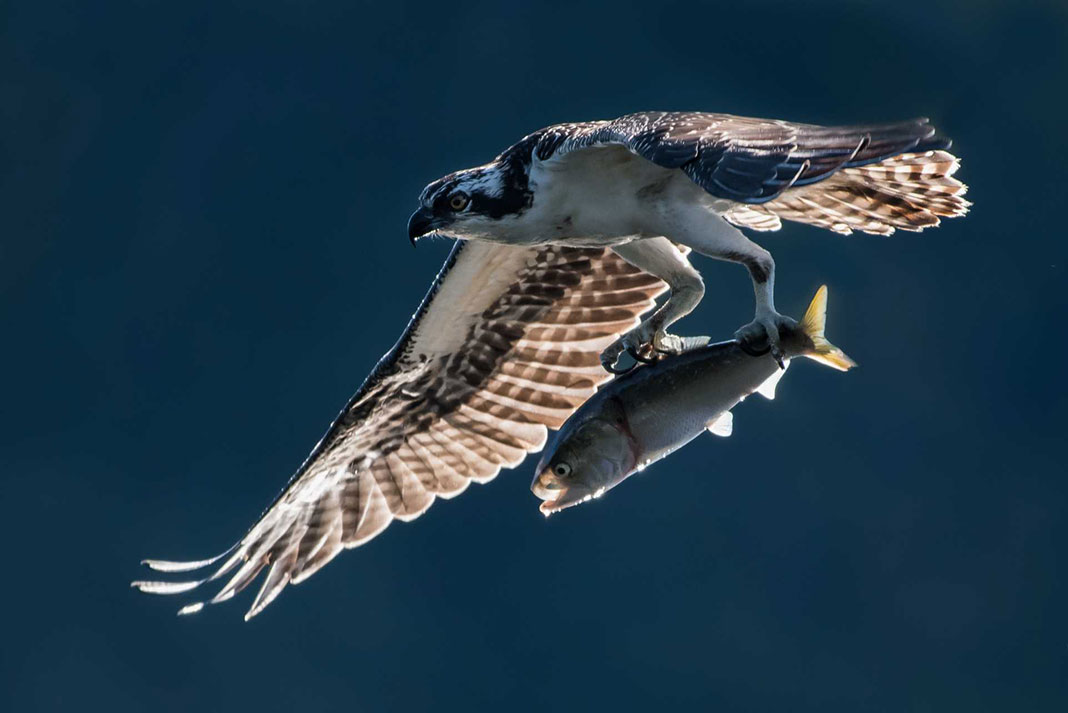 Hawk flies over water with fish in its claws, part of the ecosystem that relies on menhaden