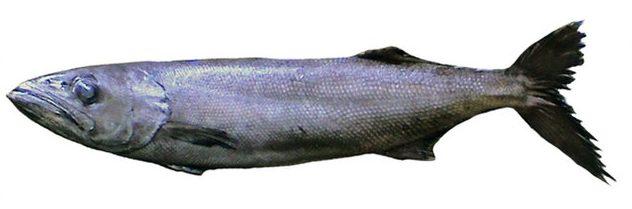 Oilfish from Wikimedia Commons