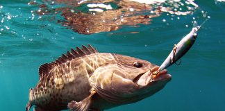 Grouper hooked on lure underwater, caught while bottom fishing