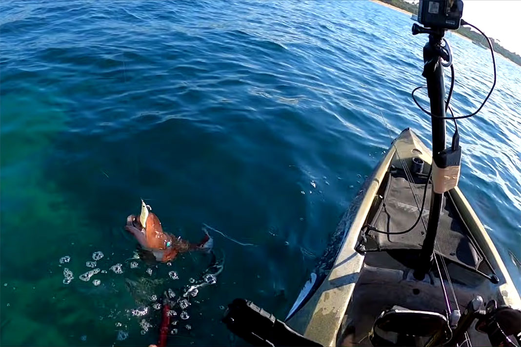 giant squid is reeled in to fishing kayak