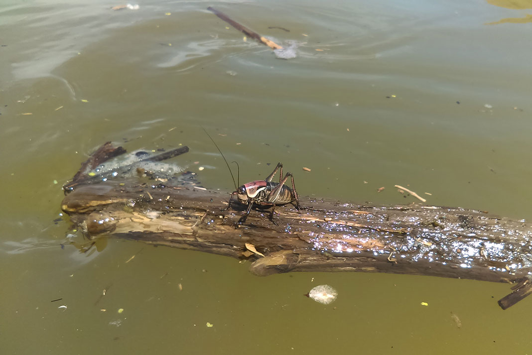 Mormon cricket floating on a piece of debris