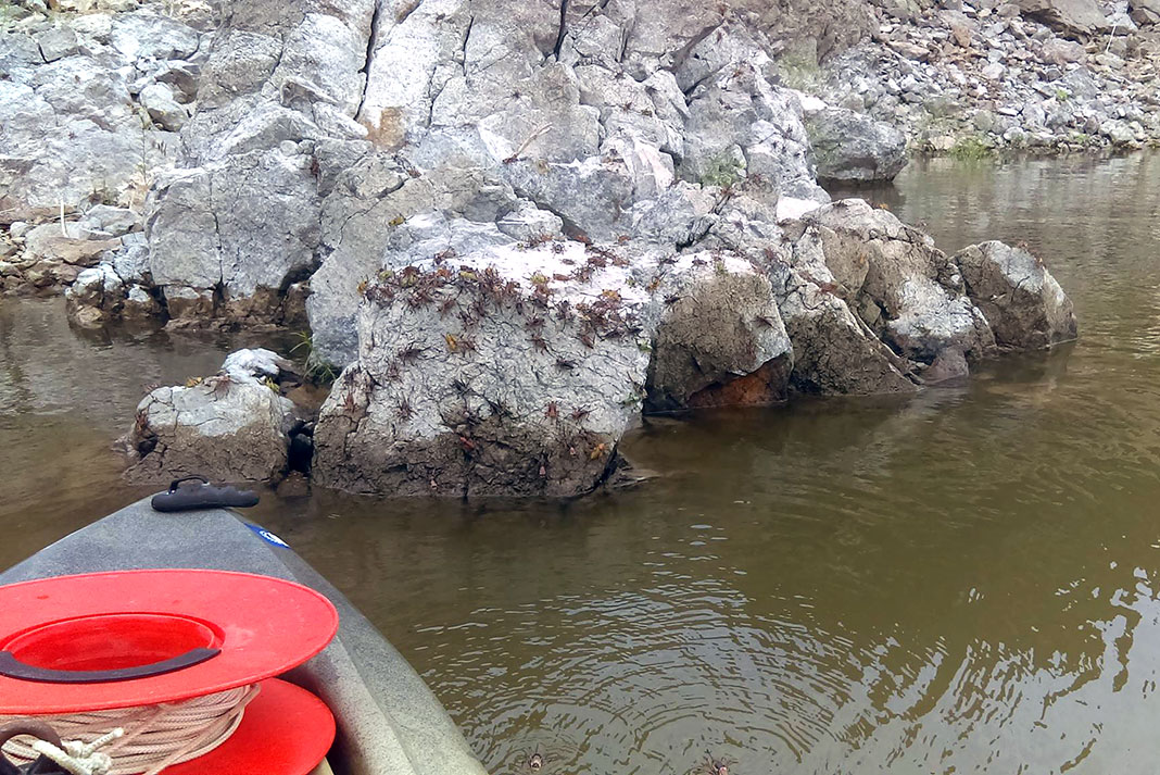 mormon crickets leap off a riverside rock to waiting catfish