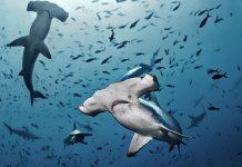 hammerhead sharks swim underwater in a school of fish